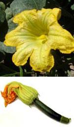 Flores de Auyama-Calabaza
