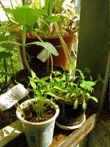 Cultiva tus ensaladas en el balcón de casa